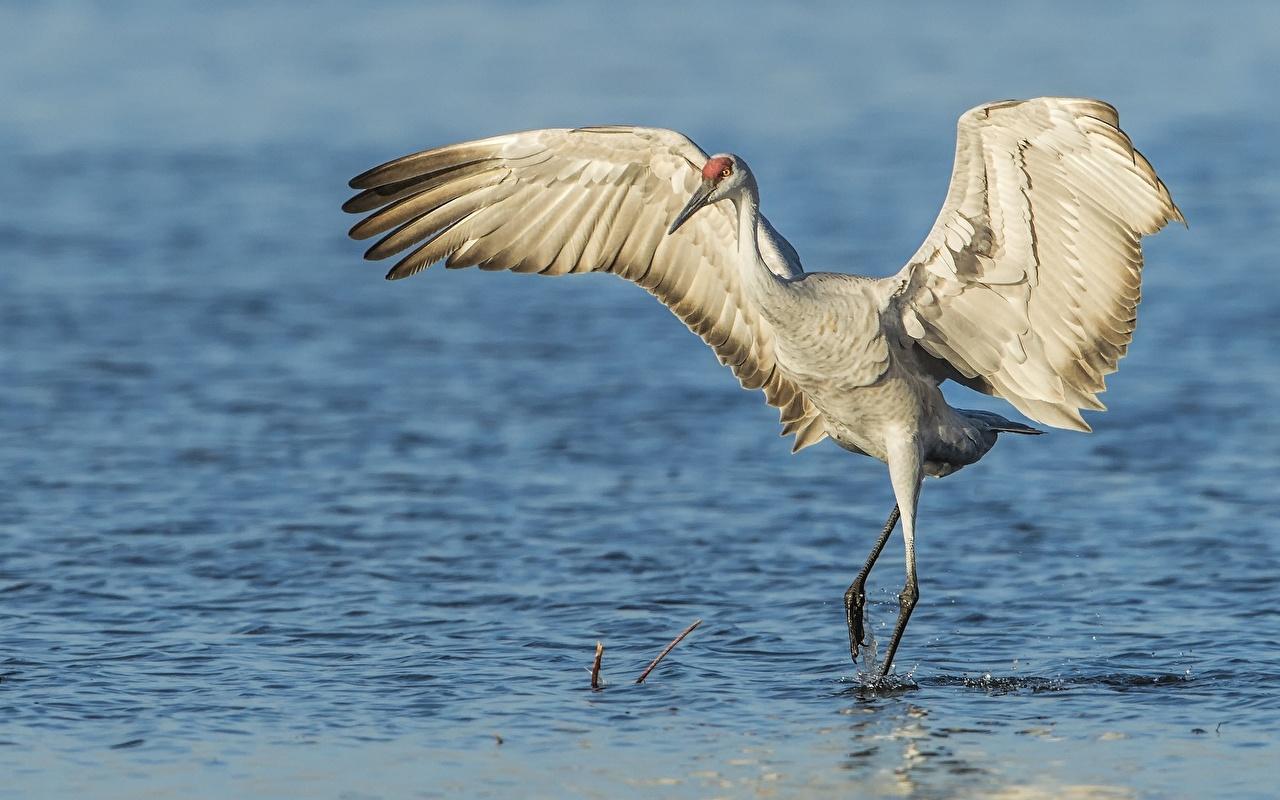 Обои для рабочего стола Птицы Журавли Крылья Grus canadensis воде животное птица Вода Животные