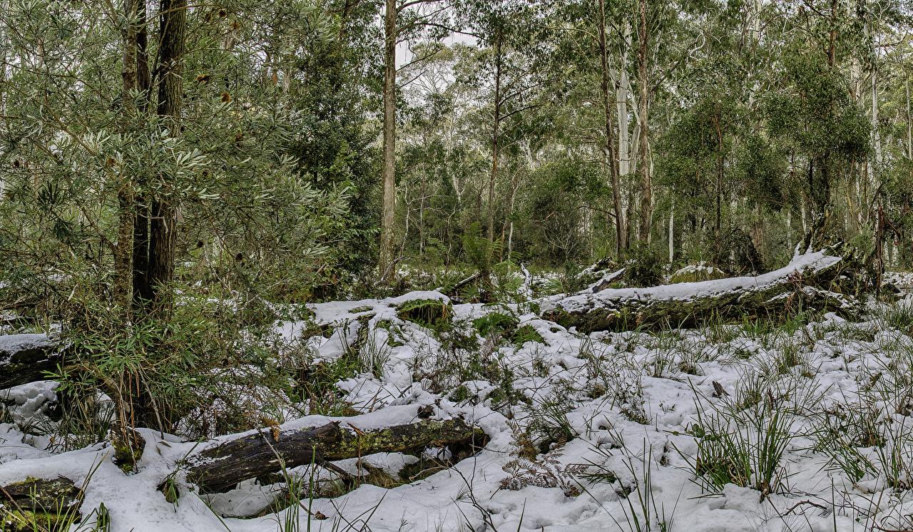 Фотография Австралия Barrington Tops National Park Зима Природа парк Снег Ствол дерева Деревья зимние снеге снегу снега Парки дерево дерева деревьев