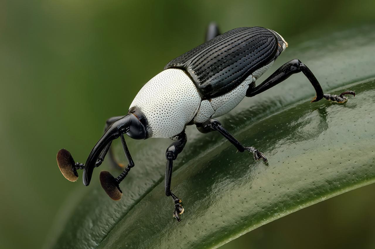 Картинки Жуки насекомое weevil животное Крупным планом Насекомые вблизи Животные