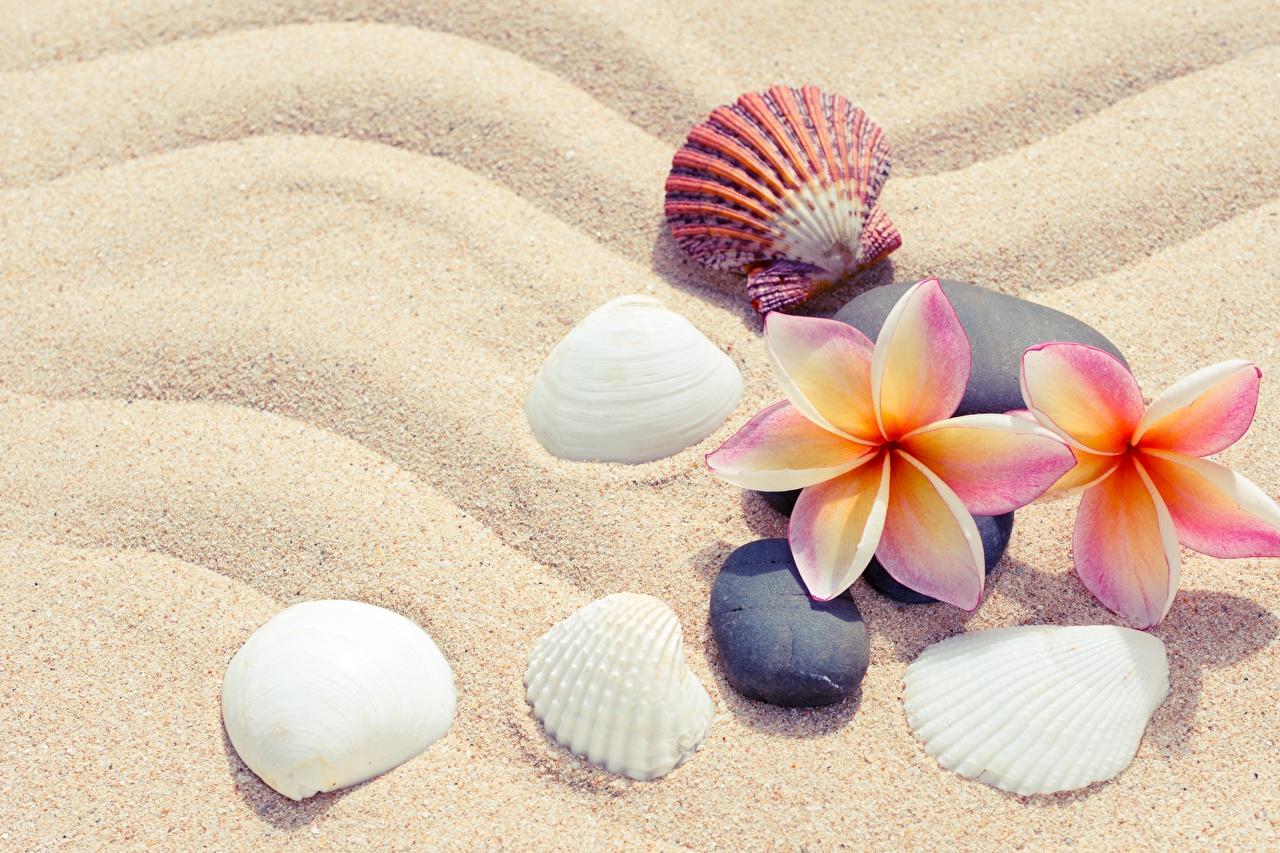 Фото Цветы Песок Ракушки Плюмерия