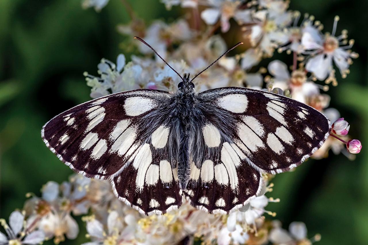 Фотография Бабочки Насекомые marbled white вблизи животное бабочка насекомое Животные Крупным планом