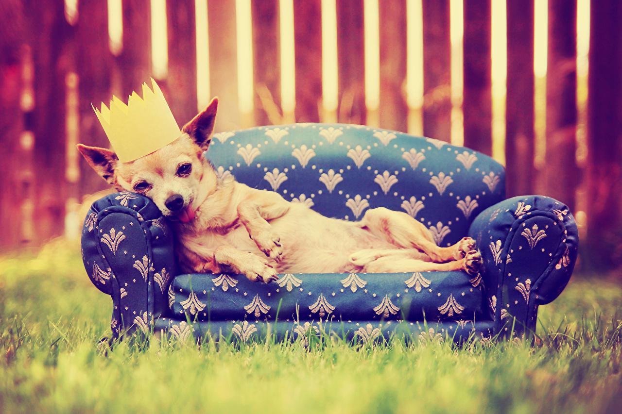 Картинка Чихуахуа собака Корона Диван Животные Собаки диване животное