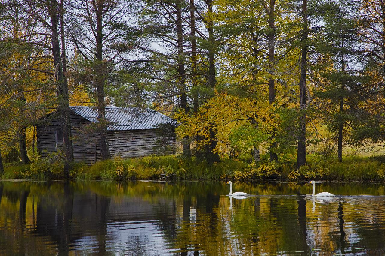 Картинка Лапландия область Лебеди Финляндия Posio Осень Природа Озеро Деревья осенние