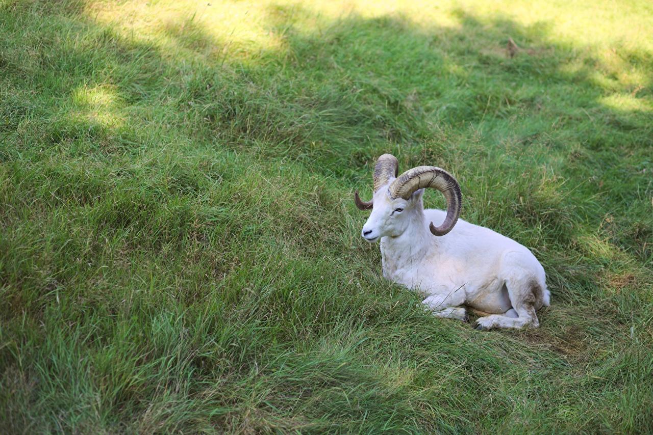 Фотографии Баран лежат Трава животное лежа Лежит лежачие траве Животные