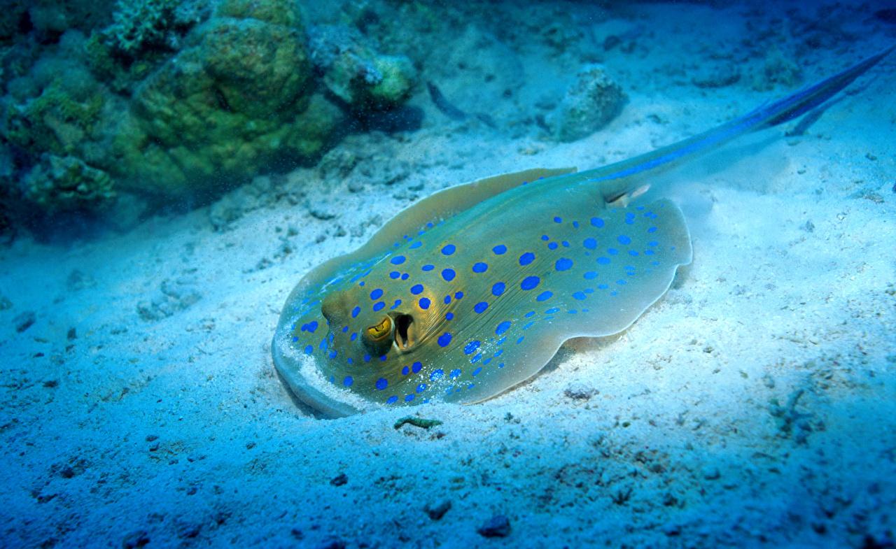 Картинки Скаты Подводный мир Животные животное