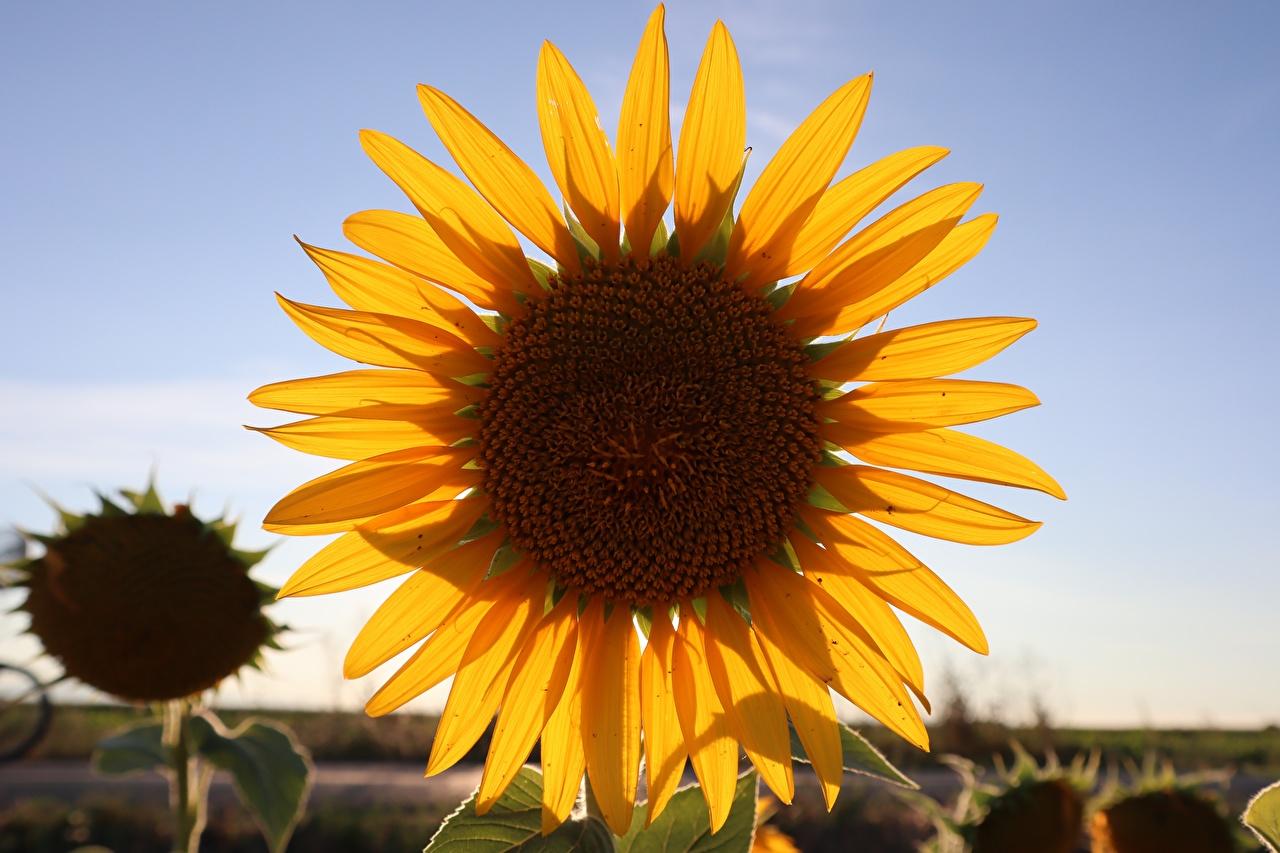 Фотография желтых Лепестки Цветы Подсолнечник Крупным планом желтые желтая Желтый лепестков цветок Подсолнухи вблизи