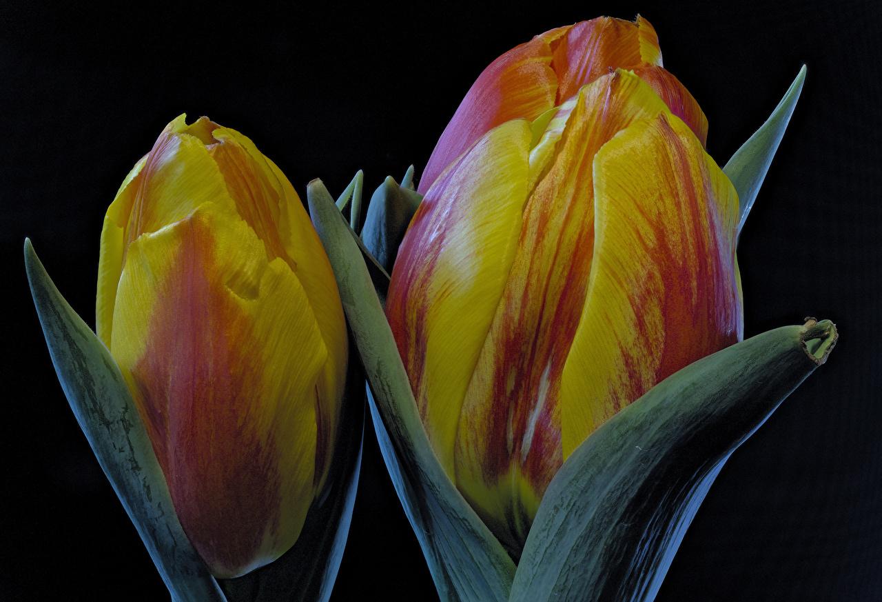 Фотографии тюльпан цветок Черный фон Крупным планом Тюльпаны Цветы вблизи на черном фоне