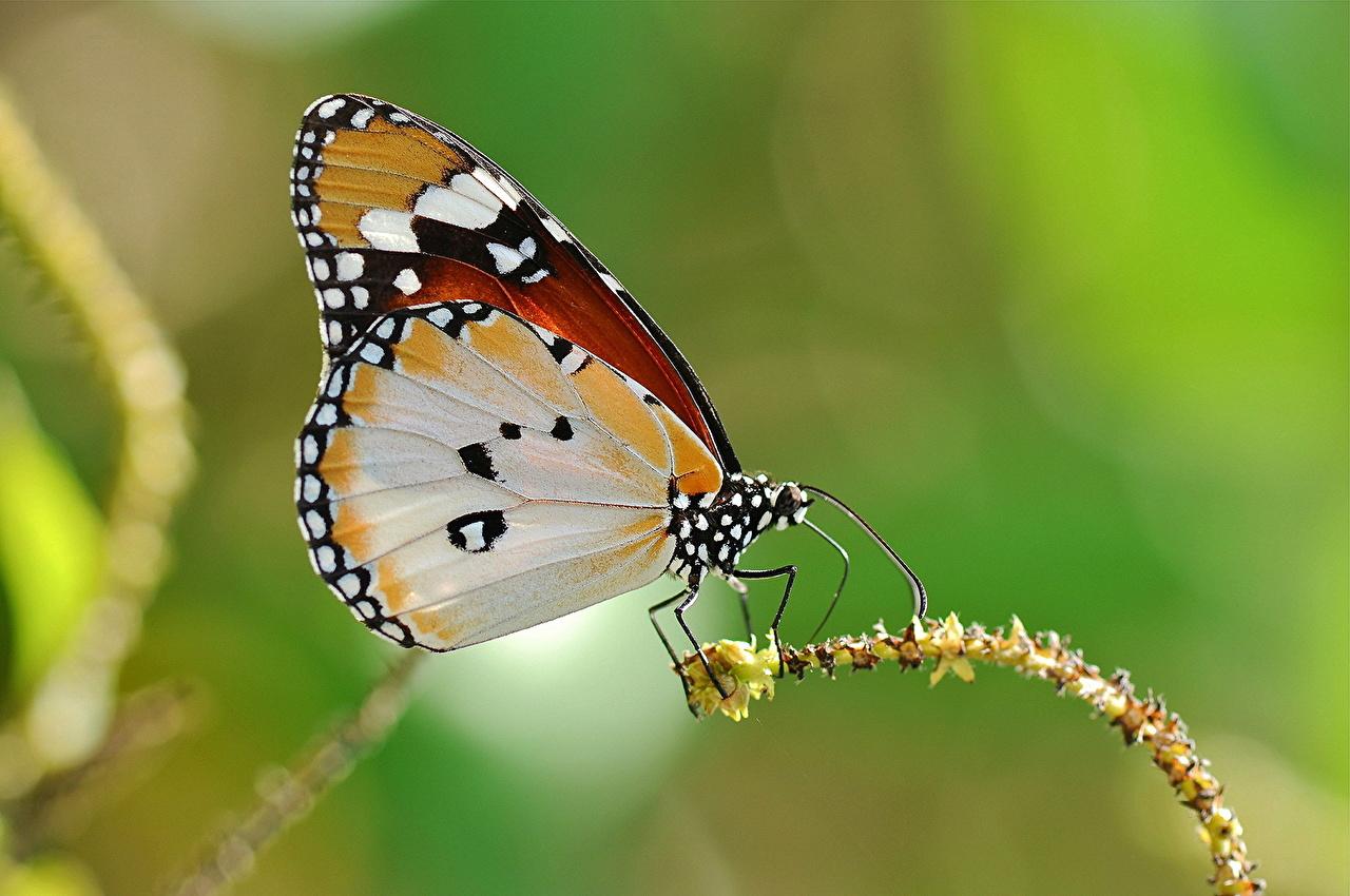Картинка бабочка Крылья Животные Крупным планом Бабочки вблизи животное