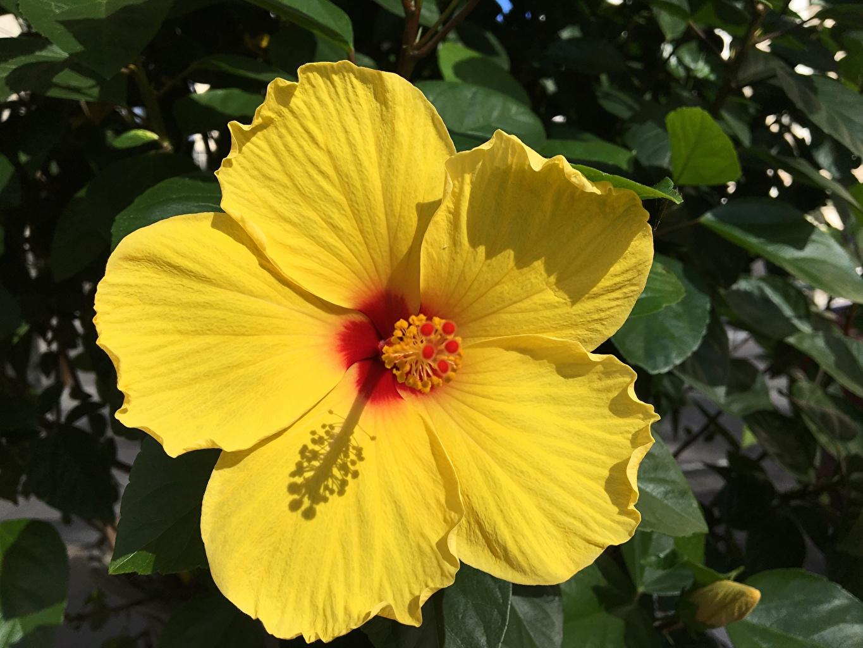 Фотографии желтая цветок Гибискусы Крупным планом желтых желтые Желтый Цветы вблизи
