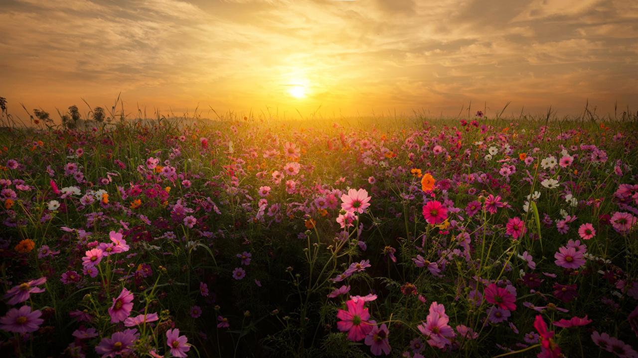 Фото Поля Цветы Космея Рассветы и закаты