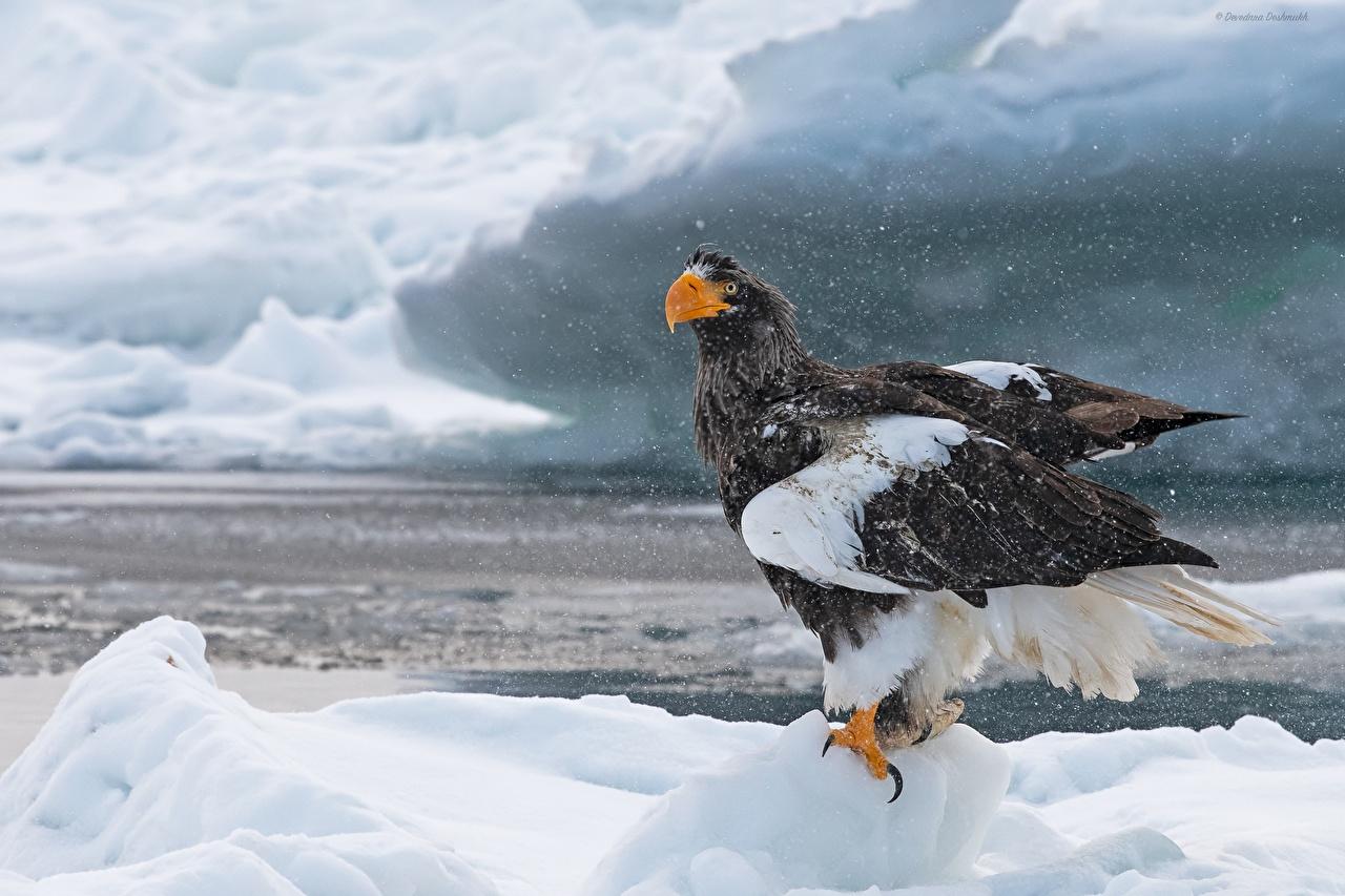 Картинка Орлы Птицы Steller's sea eagle снегу животное орел птица Снег снега снеге Животные