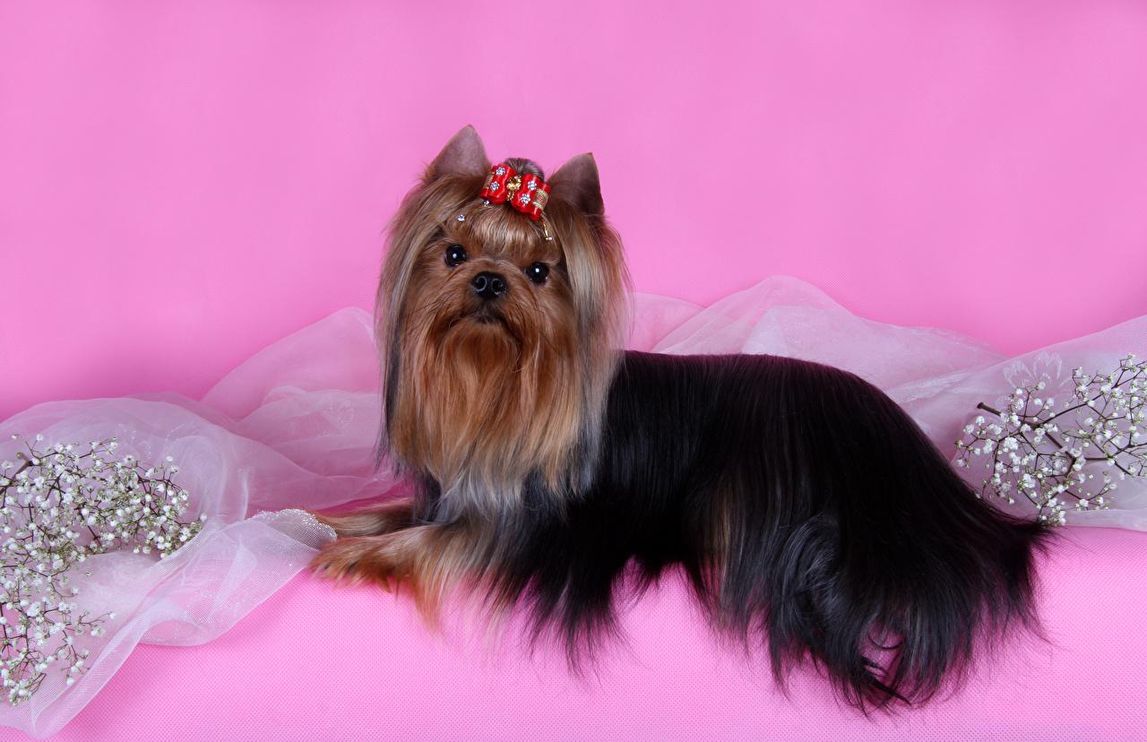 Картинки Йоркширский терьер Собаки бант Ветки животное Цветной фон ветка ветвь Бантик бантики на ветке Животные