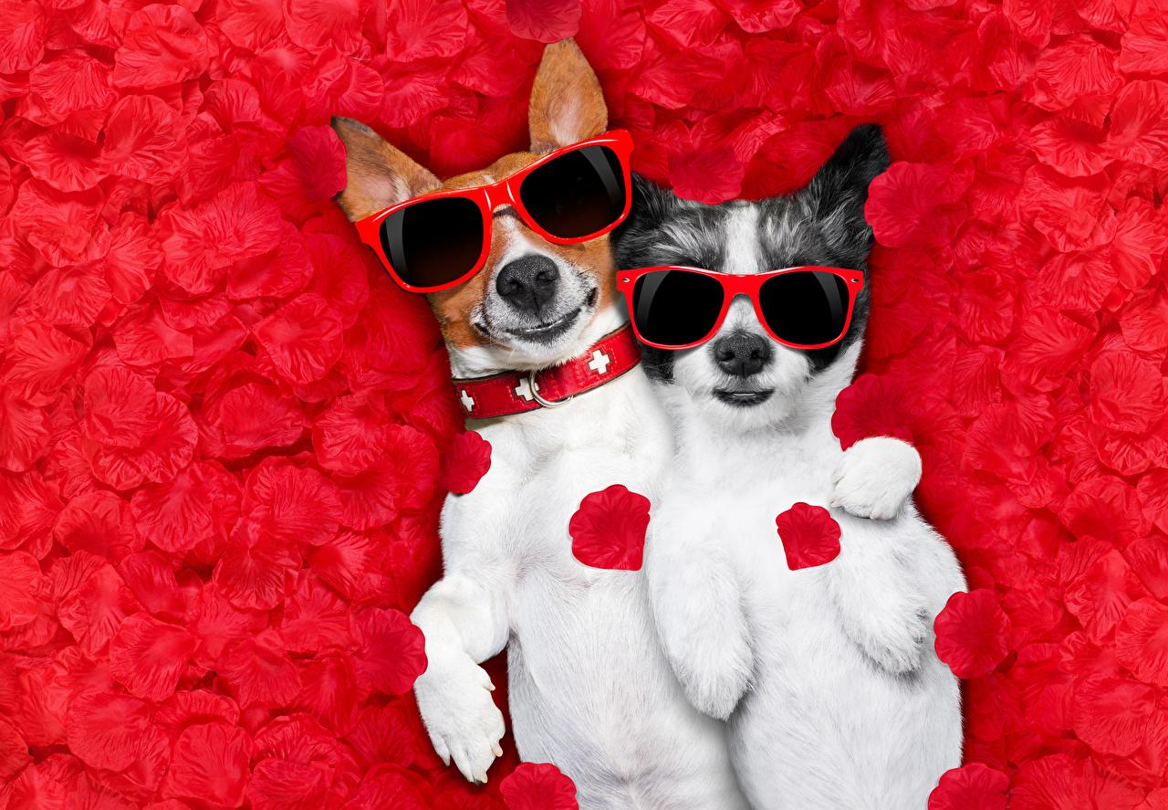 Фотографии Джек-рассел-терьер Собаки смешная две Лепестки Очки Животные собака смешной Смешные забавные 2 два Двое вдвоем лепестков очков очках животное