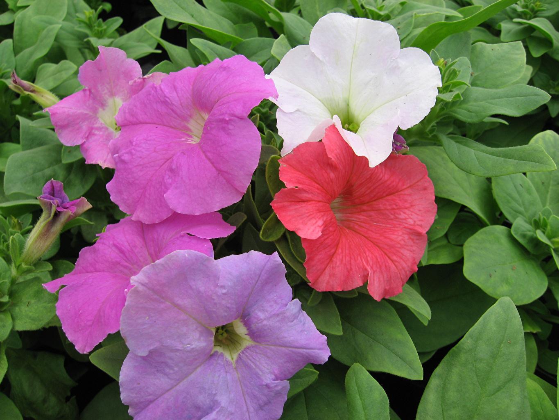 Обои для рабочего стола Разноцветные цветок Петунья вблизи Цветы петуния Крупным планом