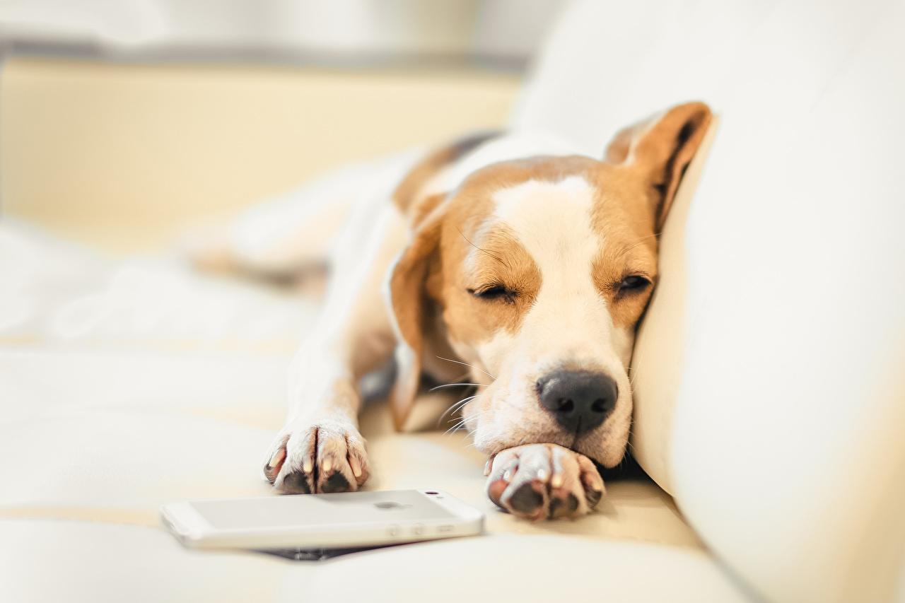 Фотография бигля Собаки спят Лапы Животные Бигль собака сон Спит спящий лап животное