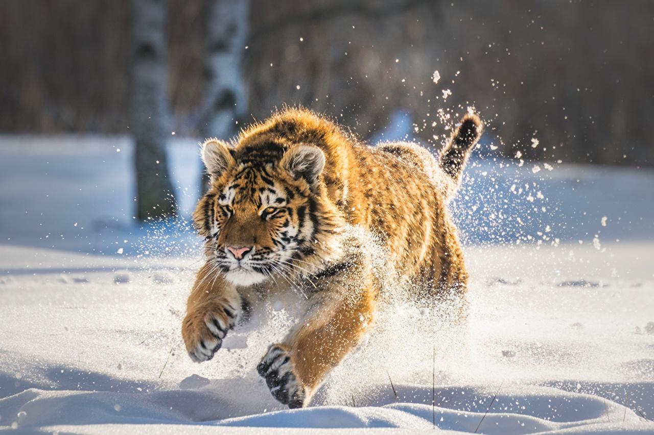Картинка тигр Детеныши бежит снега животное Тигры Бег бегущий бегущая Снег снеге снегу Животные