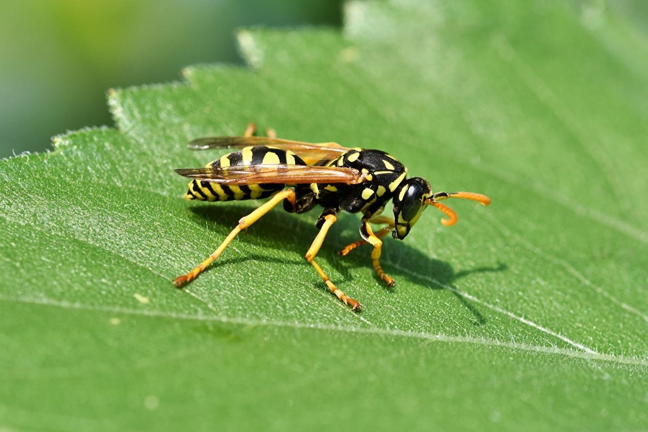 Фотография Оса Насекомые Листва Животные Крупным планом осы насекомое лист Листья вблизи животное