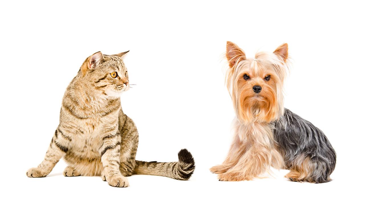 Фотография Йоркширский терьер Кошки Собаки 2 животное Белый фон кот коты кошка собака два две Двое вдвоем Животные белом фоне белым фоном