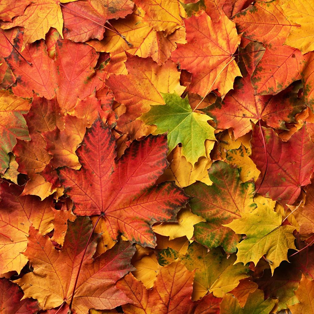 Картинки Листва клёна Осень Природа Много лист Листья Клён клёновый осенние