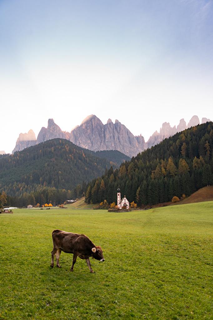 Картинка Церковь коровы альп Италия Dolomites, Santa Maddalena Горы Природа траве  для мобильного телефона Корова Альпы гора Трава