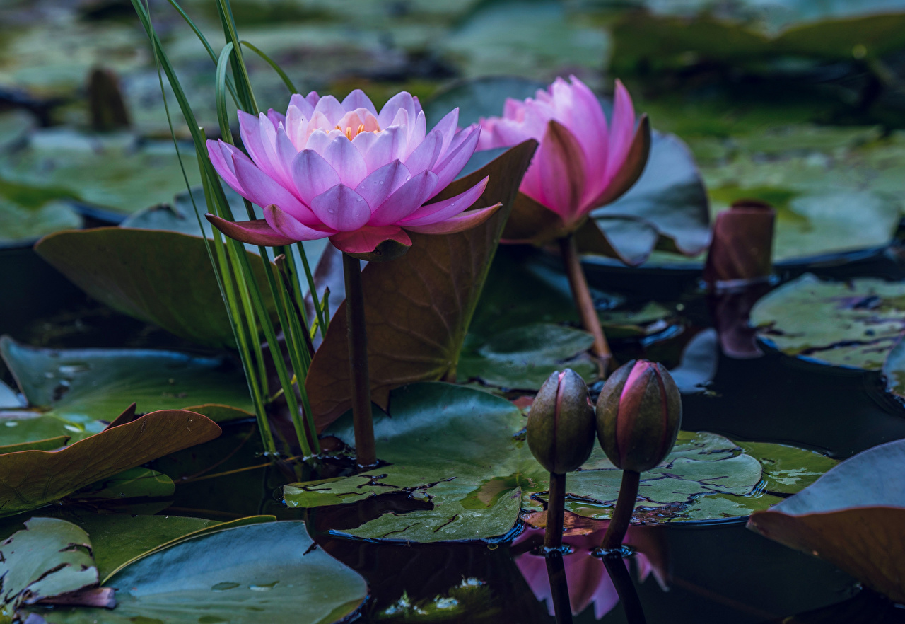 Фотография Листья Пруд Цветы Кувшинки лист Листва цветок Водяные лилии