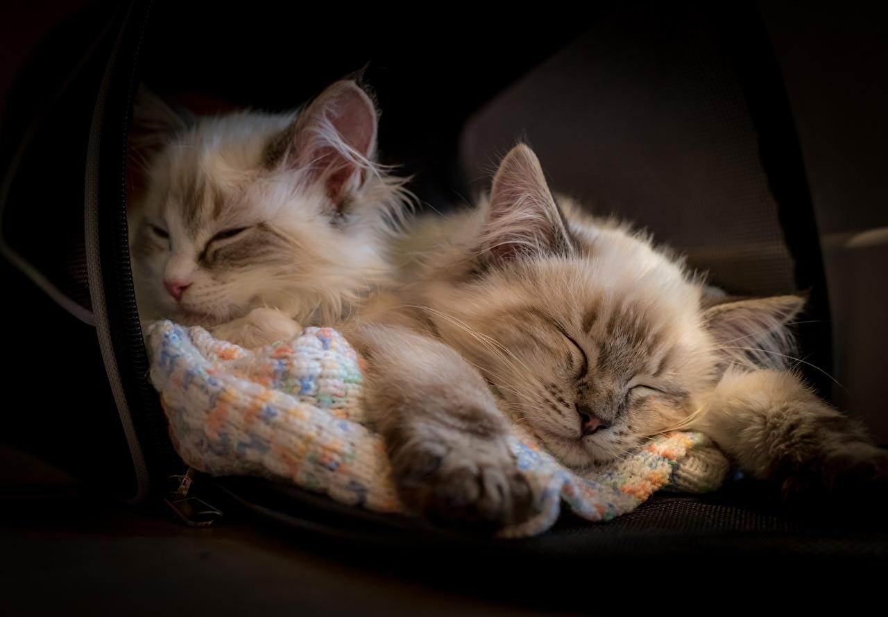 Картинки Рэгдолл котенок коты Двое спящий Животные котят Котята котенка кот Кошки кошка 2 сон два две Спит спят вдвоем животное