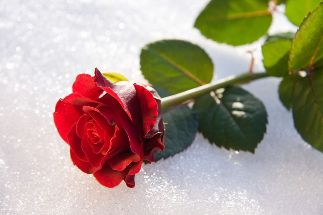 Фото Розы Красный Снег Цветы вблизи роза красная красные красных снега снегу снеге цветок Крупным планом