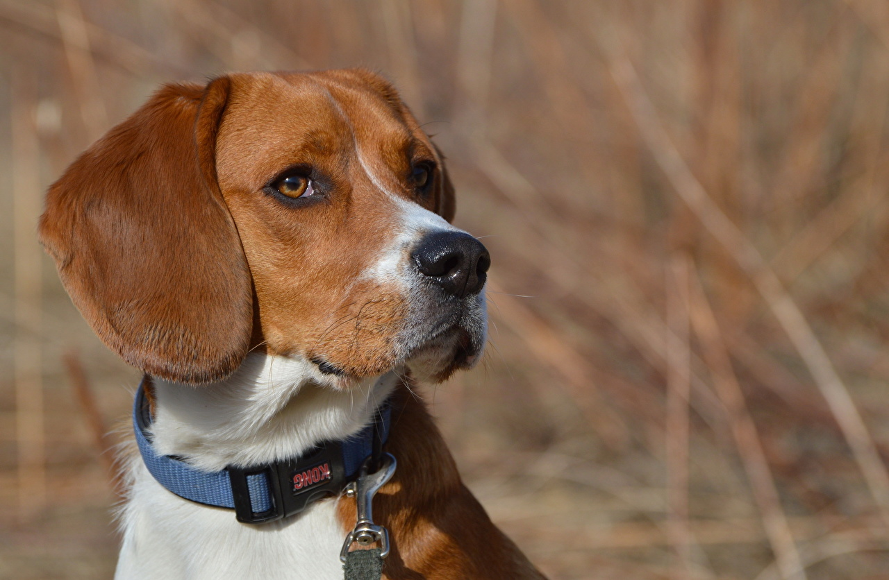 Фотографии бигля Собаки смотрят Животные Бигль собака Взгляд смотрит животное