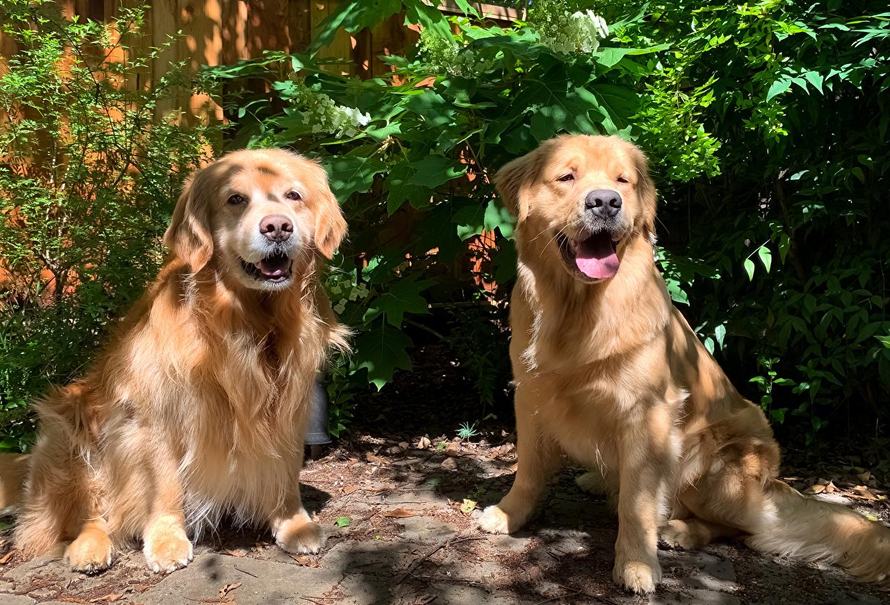 Обои для рабочего стола Золотистый ретривер собака вдвоем животное Собаки 2 два две Двое Животные