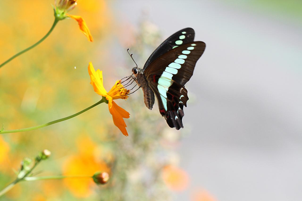 Обои для рабочего стола Бабочки насекомое животное Крупным планом бабочка Насекомые вблизи Животные