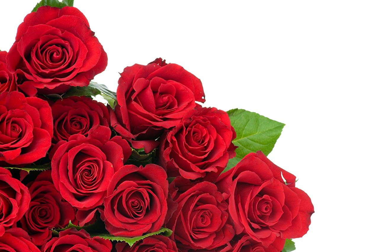 Обои для рабочего стола роза красные цветок вблизи Розы красная Красный красных Цветы Крупным планом