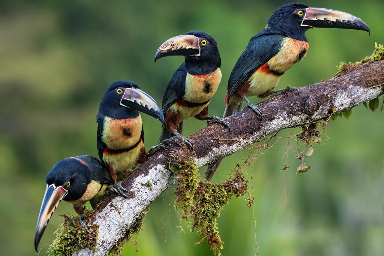 Картинка Животные птица Туканы Collared aracari Ветки Четыре 4 животное Птицы ветвь ветка на ветке