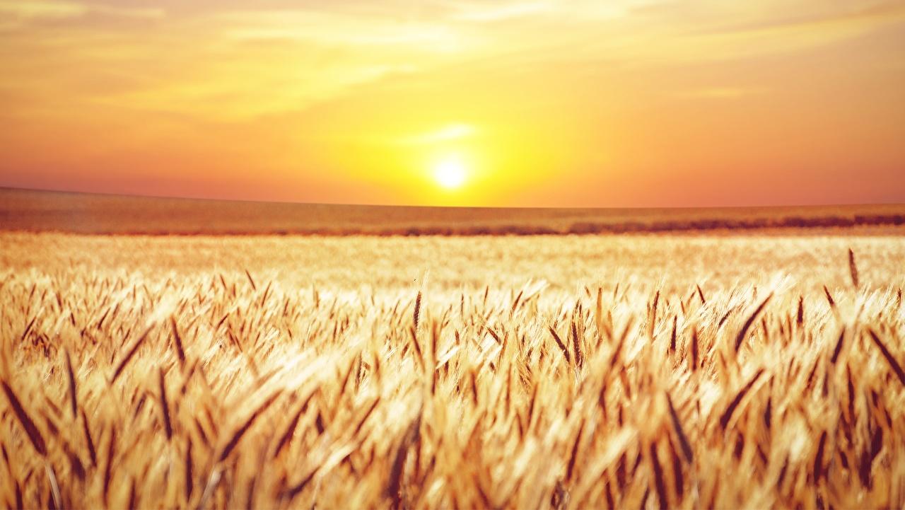 Фотографии солнца Природа Поля колосок Рассветы и закаты Горизонт Солнце Колос колосья колоски рассвет и закат горизонта