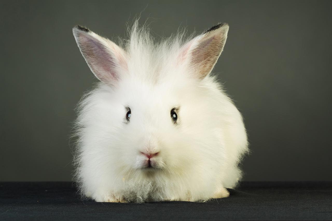 Картинки Кролики Белый Спереди Взгляд Животные смотрит