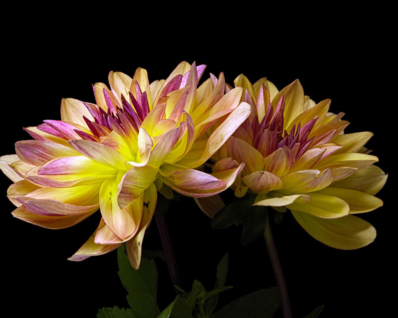 Фотография Двое Цветы Хризантемы на черном фоне Крупным планом 2 два две вдвоем цветок вблизи Черный фон