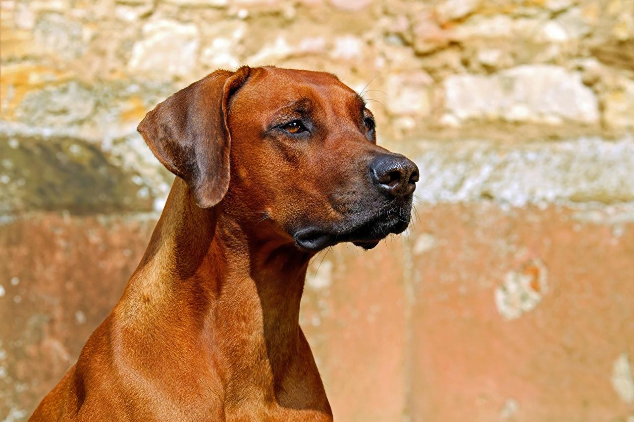 Картинка Собаки Rhodesian Ridgeback Голова смотрит животное собака головы Взгляд смотрят Животные
