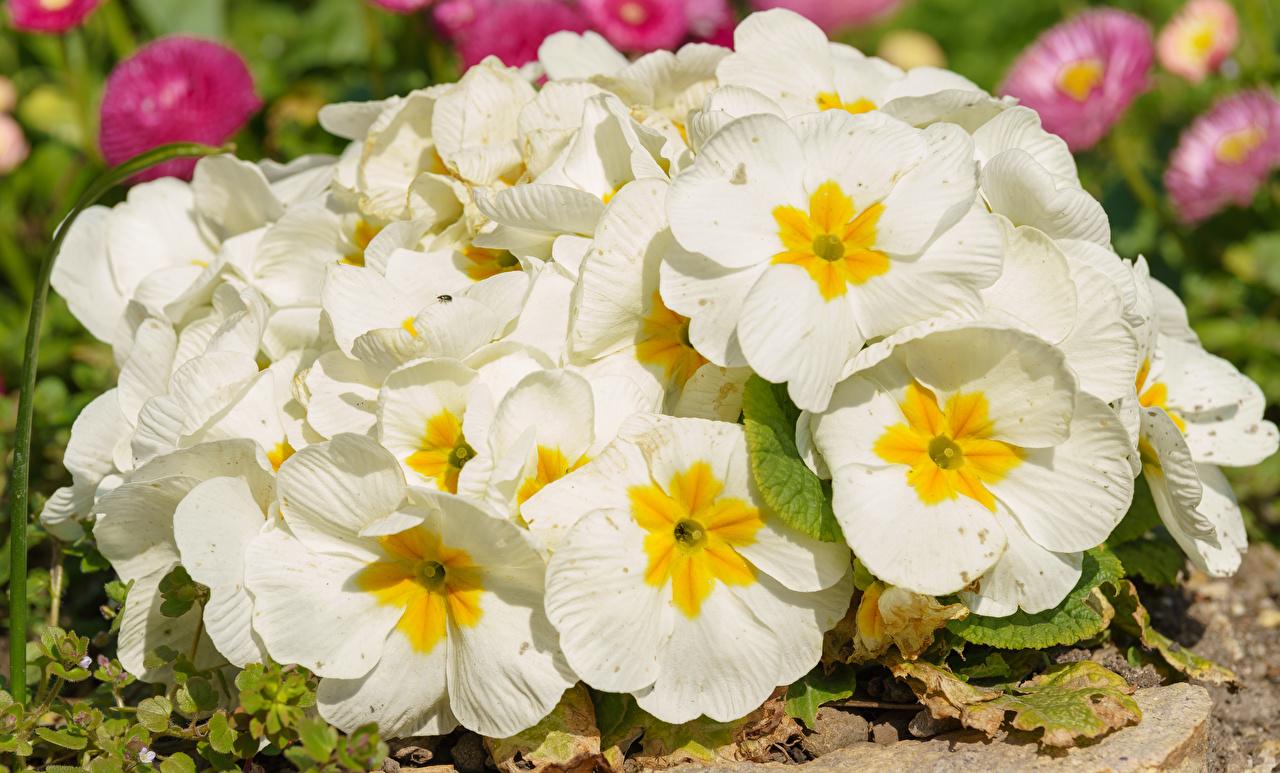 Обои для рабочего стола Белый цветок Первоцвет Крупным планом белых белые белая Цветы Примула вблизи