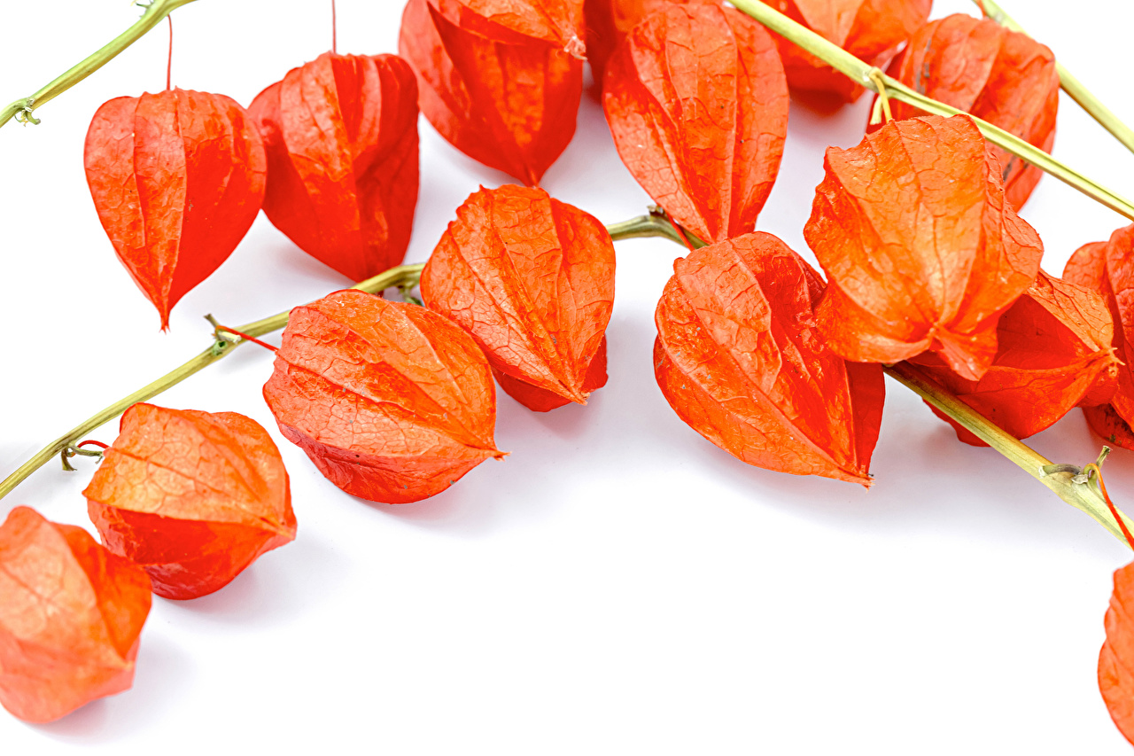 Обои для рабочего стола Winter Cherry, Physalis alkekengi Природа оранжевая на ветке белым фоном Оранжевый оранжевые оранжевых ветвь ветка Ветки Белый фон белом фоне