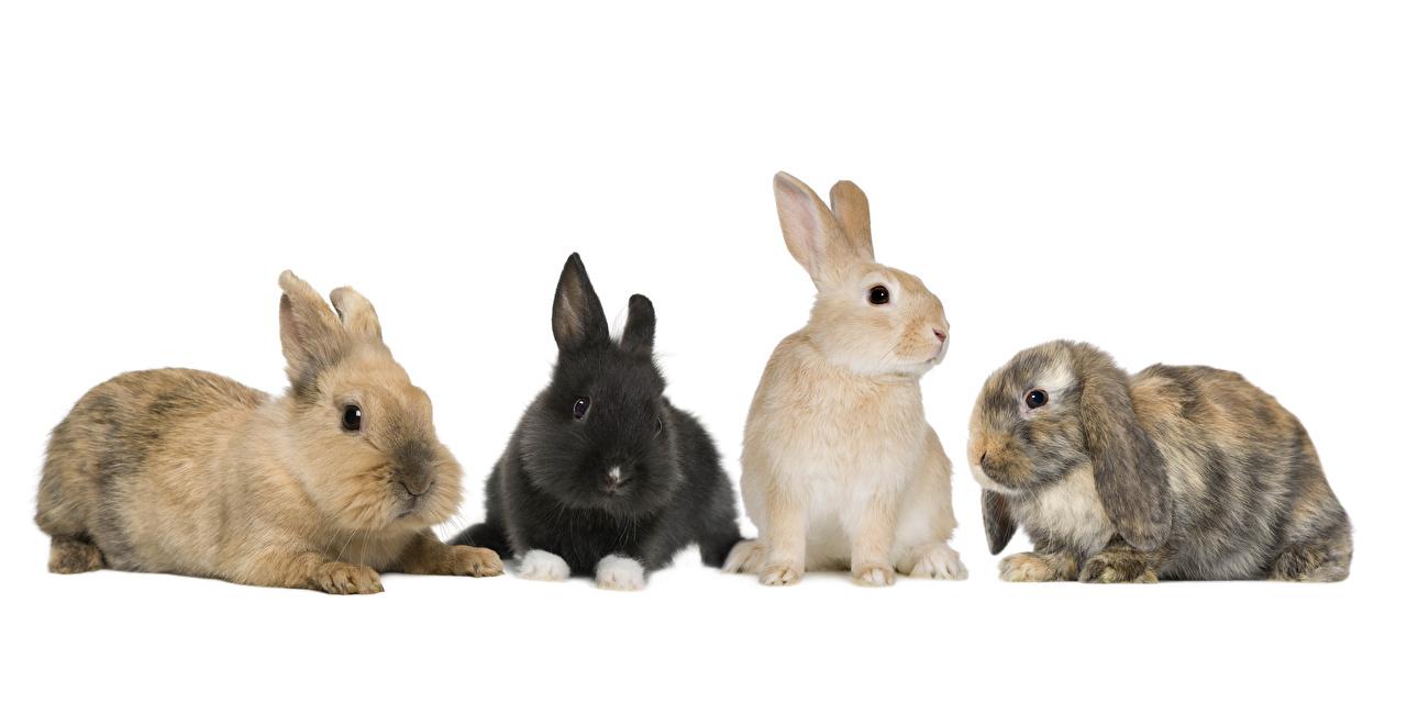 Картинка Кролики животное белом фоне кролик Животные Белый фон белым фоном