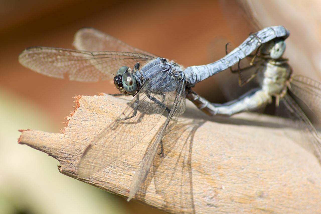 Фотография Стрекозы насекомое Двое Животные Крупным планом Насекомые 2 два две вдвоем вблизи животное