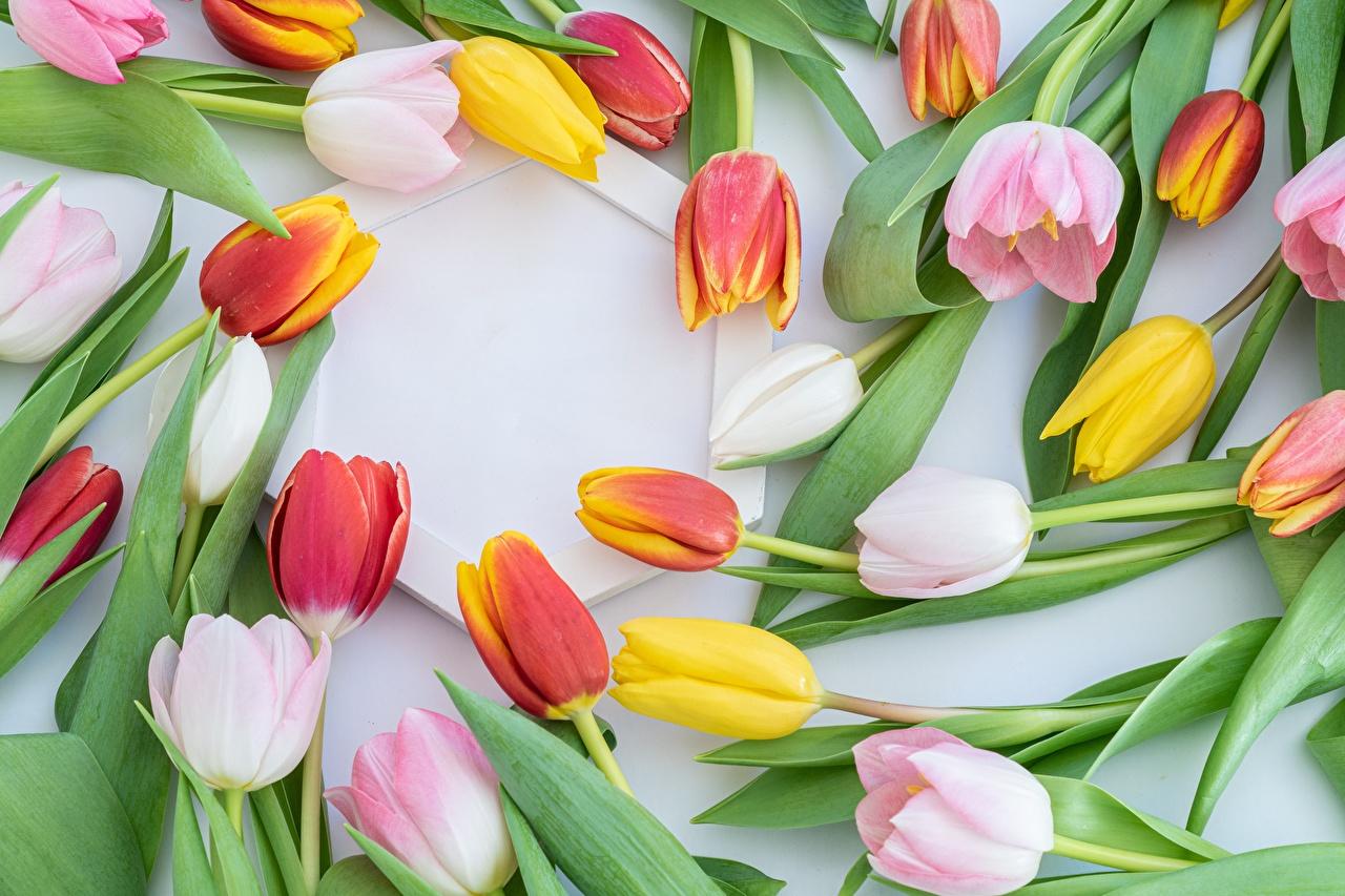 Картинка желтые тюльпан Розовый цветок Много желтая Желтый желтых розовая розовые розовых Тюльпаны Цветы