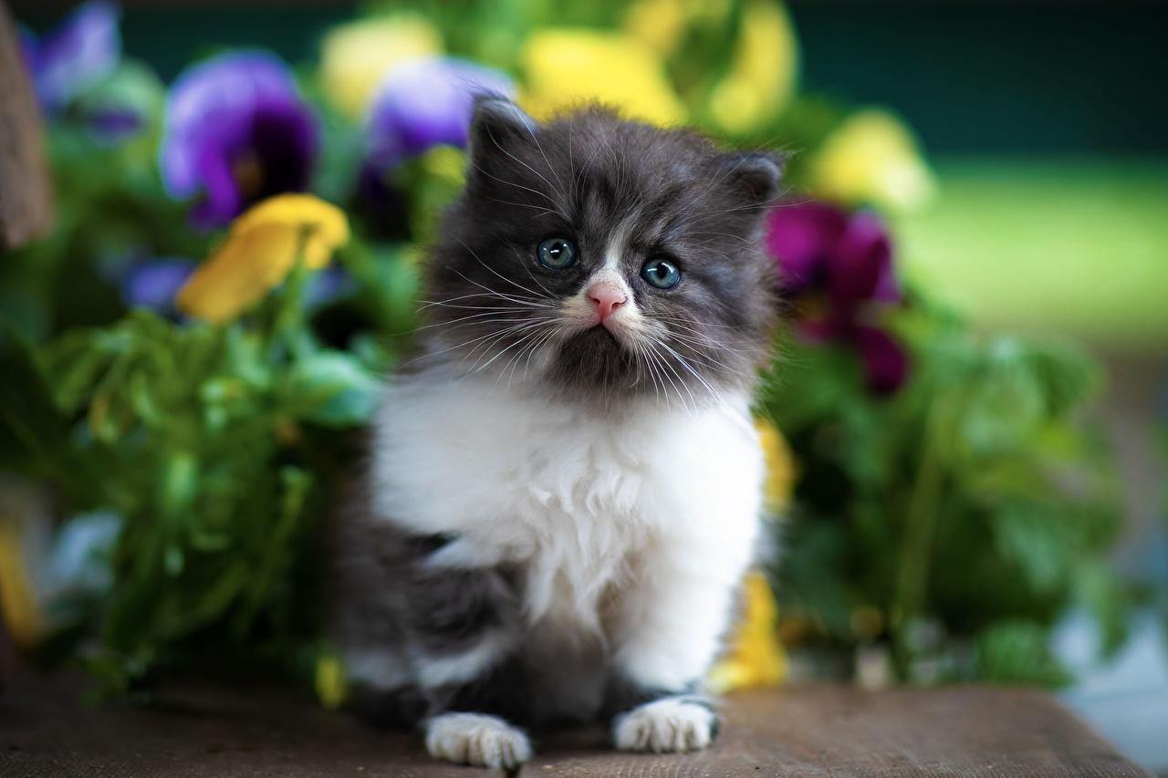 Фото Котята Кошки Размытый фон смотрит Животные котят котенок котенка кот коты кошка боке Взгляд смотрят животное