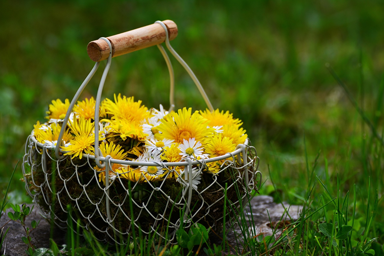 Обои для рабочего стола цветок корзины Одуванчики Маргаритка Трава Цветы Корзина Корзинка траве