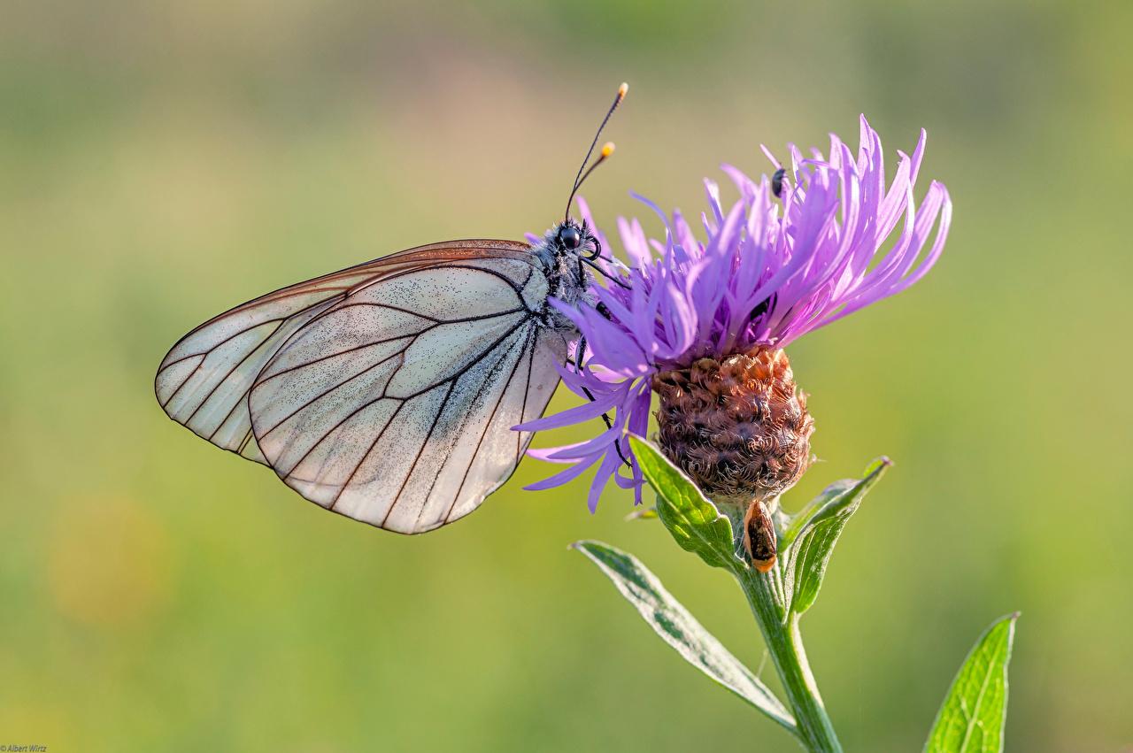 Обои для рабочего стола Бабочки насекомое black-veined white Животные Крупным планом бабочка Насекомые вблизи животное