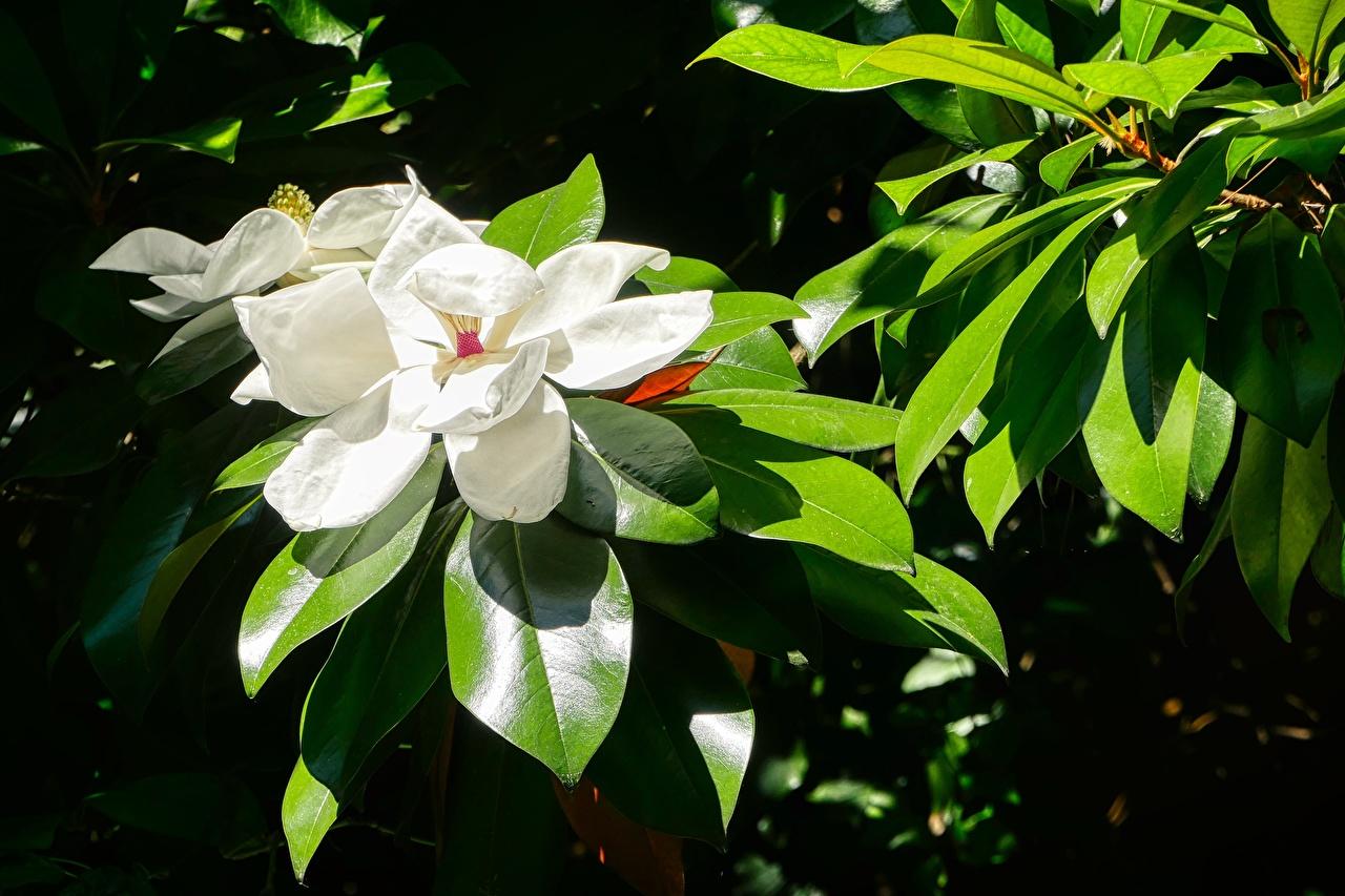 Картинки Листья белые цветок Магнолия Крупным планом лист Листва белых Белый белая Цветы вблизи