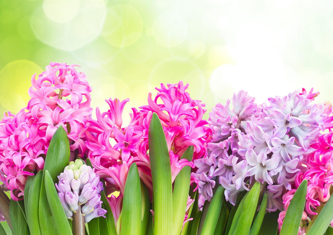 Фото Цветы Гиацинты вблизи Крупным планом