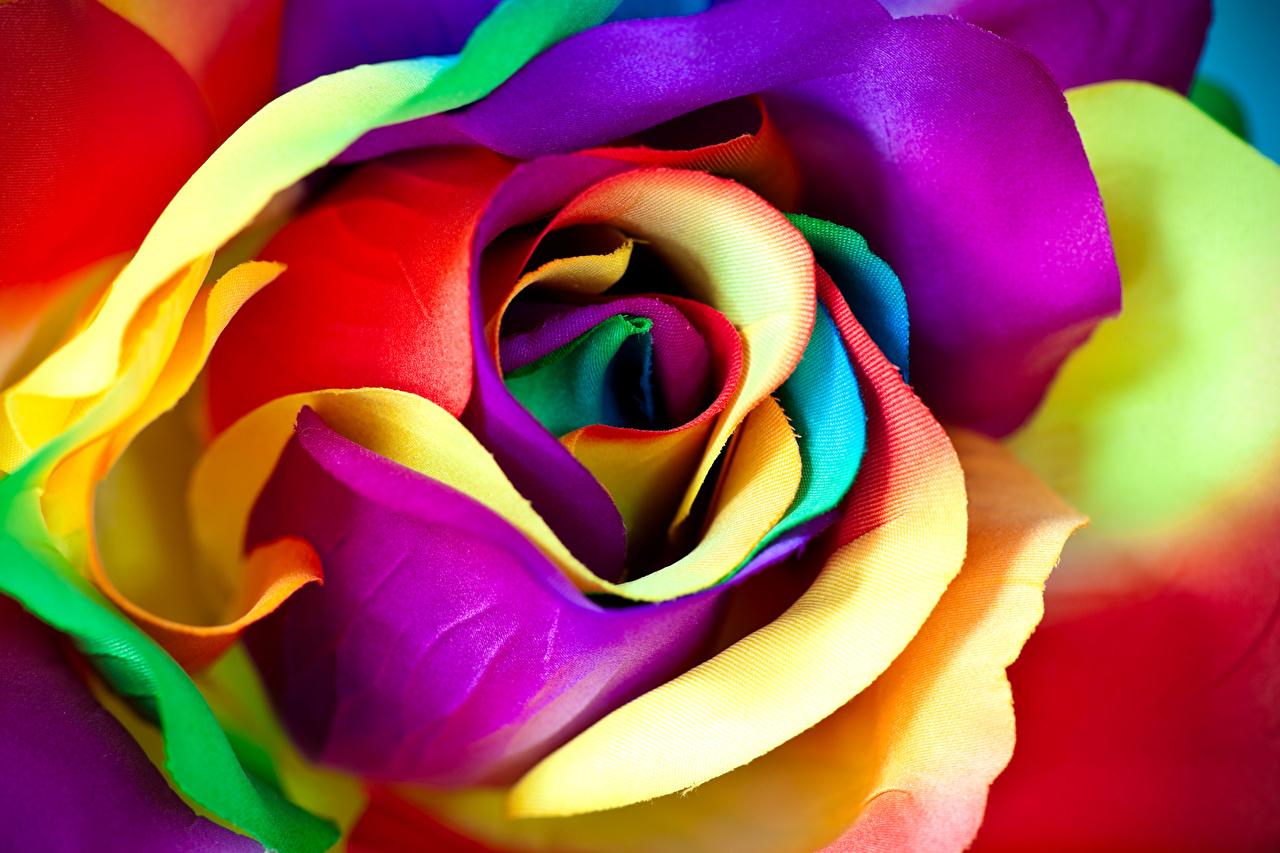Картинка Разноцветные Розы Цветы Макросъёмка вблизи роза Макро цветок Крупным планом