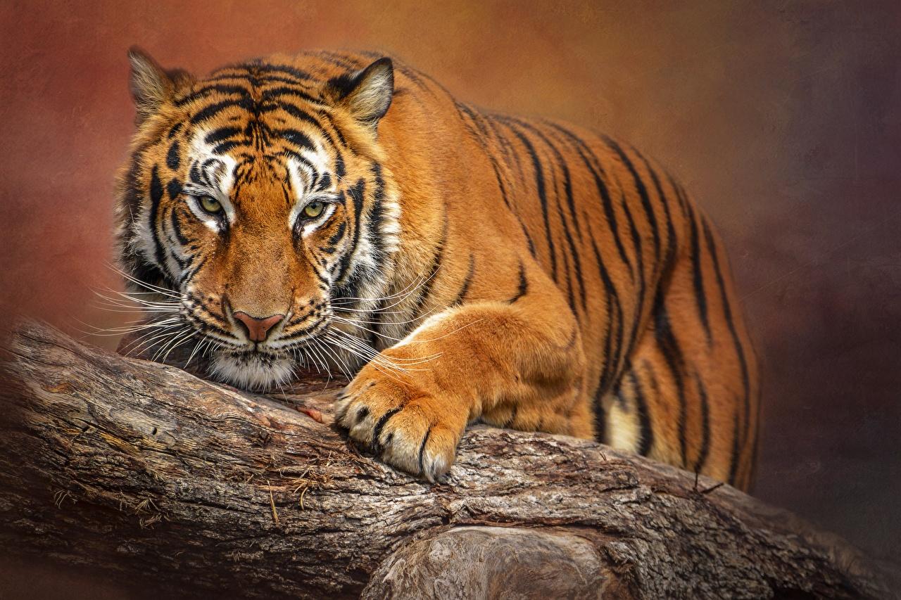 Картинка Тигры Размытый фон лап Усы Вибриссы Взгляд животное тигр боке Лапы смотрит смотрят Животные