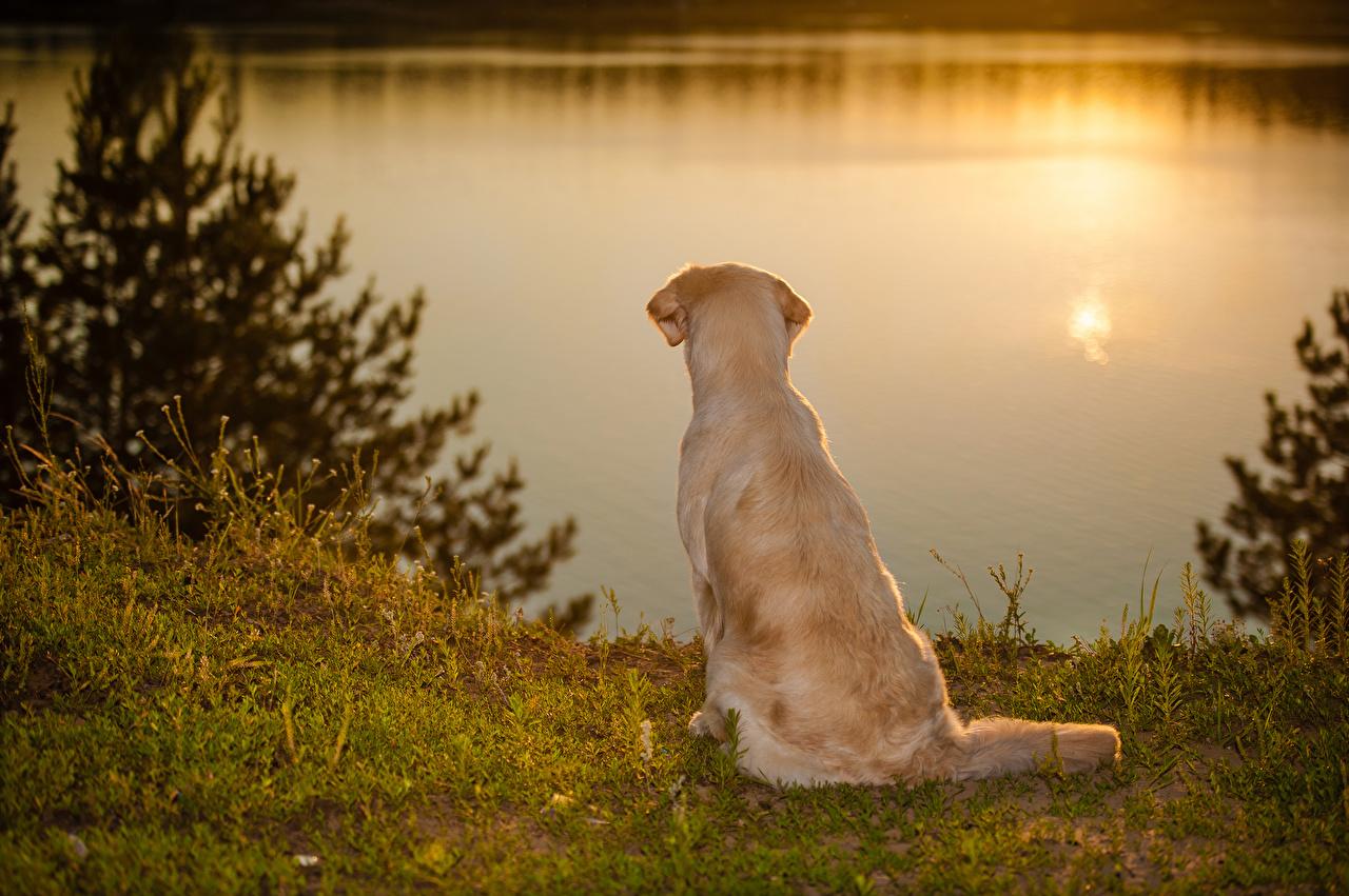 Обои Голден Собаки Рассветы и закаты берег Животные Золотистый ретривер Побережье