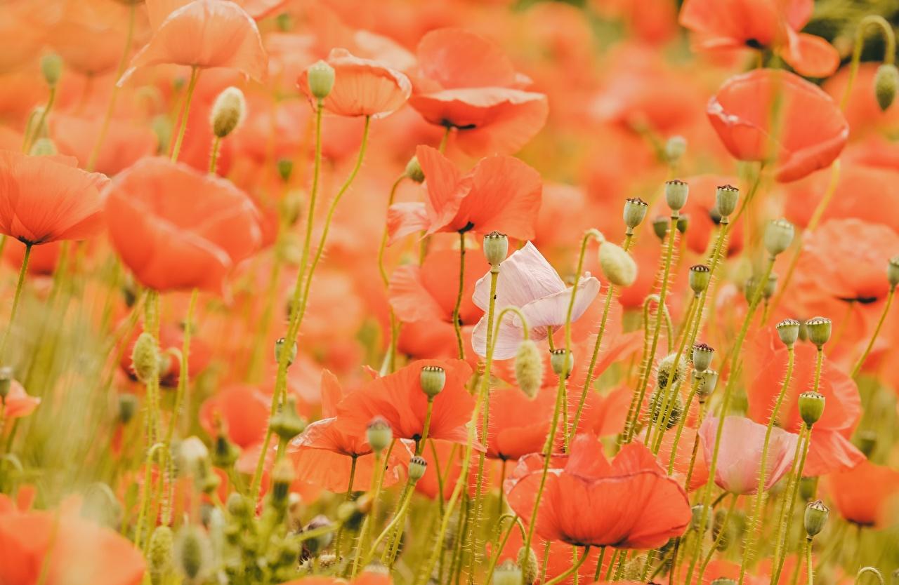 Фотография красная мак Цветы Бутон Много красных красные Красный Маки цветок